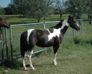Our paint horse Fancy and Doc's nose
