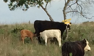 Adoptive mother, her white calf, and Norman sneaking milk. Crown attached courtesy of photoshop