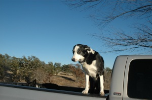 Buddy at a somewhat older age in the bed of the pickup