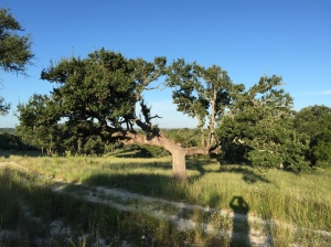 Oddly shaped tree that likely lost its main trunk to wind or lightning many years ago
