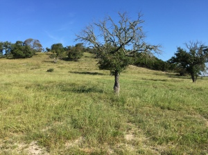 A tree severely affected by Oak wild but one that will likely survive in altered shape