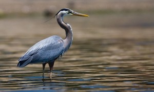 great_blue_heron_page_image