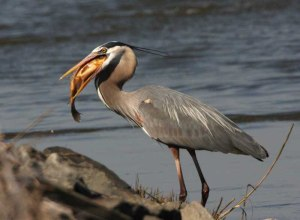 This is not really my heron but a look alike. Mine is too camera shy to allow me to snap a good image of it.